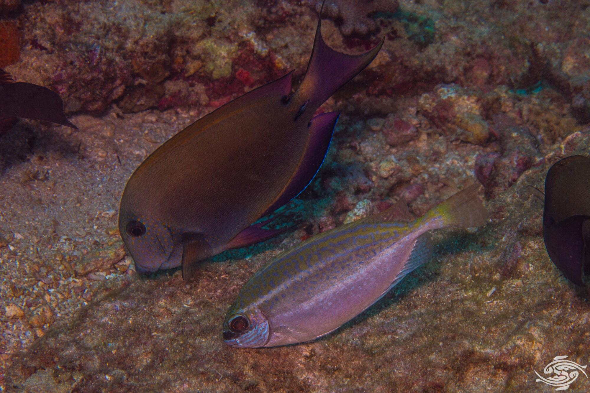 Whitespotted rabbitfish Siganus sutor