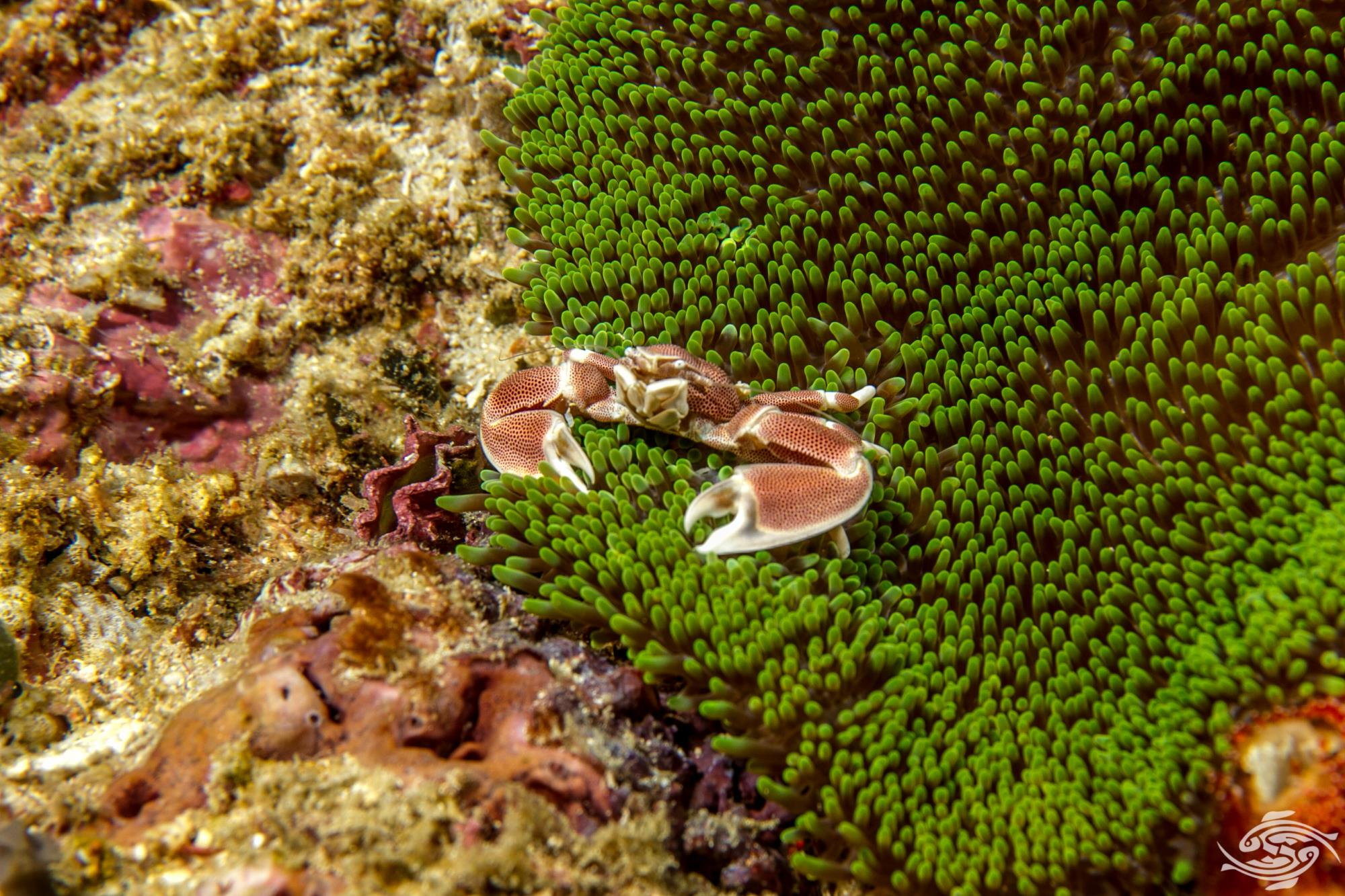 Porcelain Anemone Crab, Neopetrolisthes maculatus is also known as the Spotted porcelain crab.