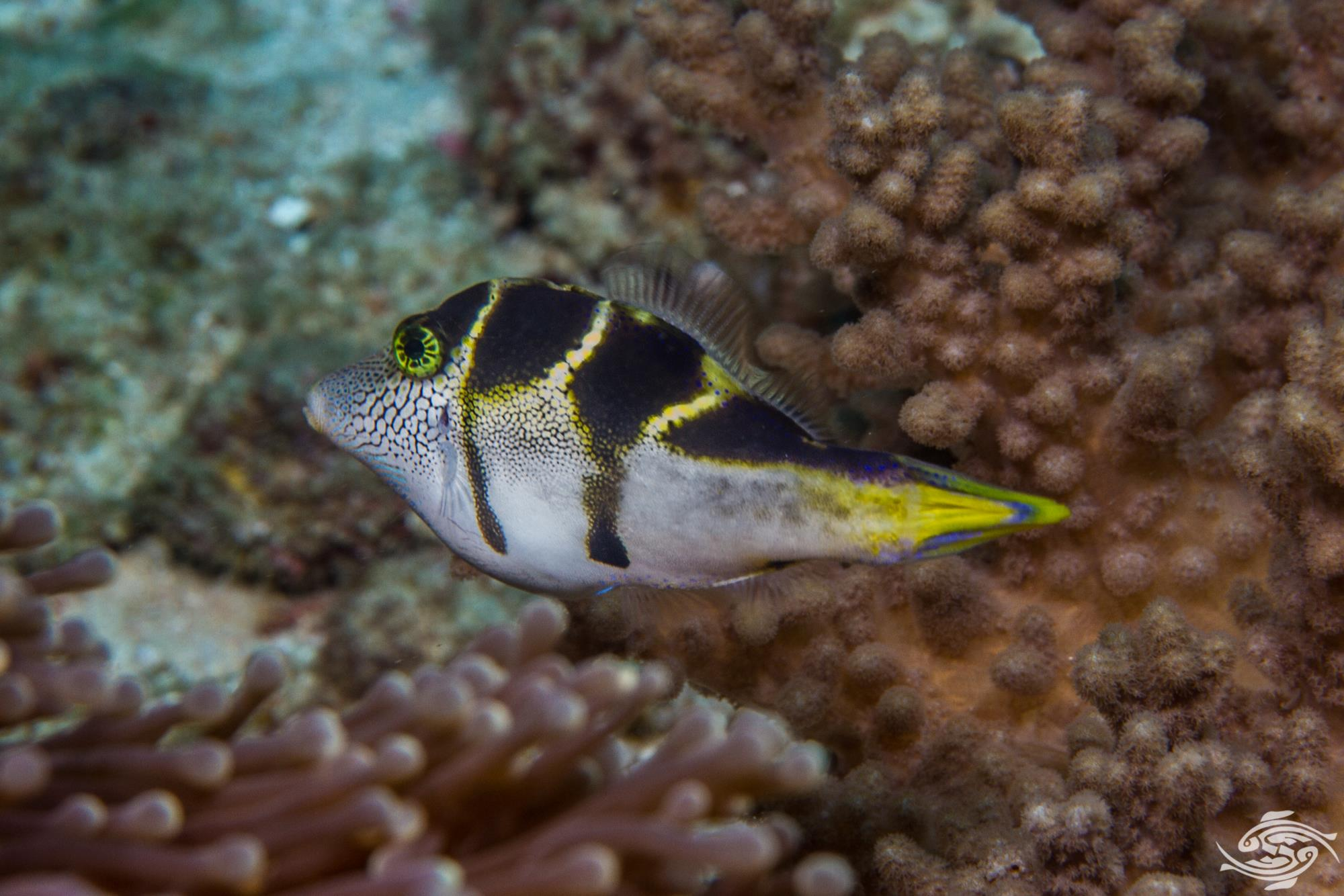 blacksaddle filefish, Paraluteres prionurus, is also known as the mimic filefish or blacksaddle leatherjacket