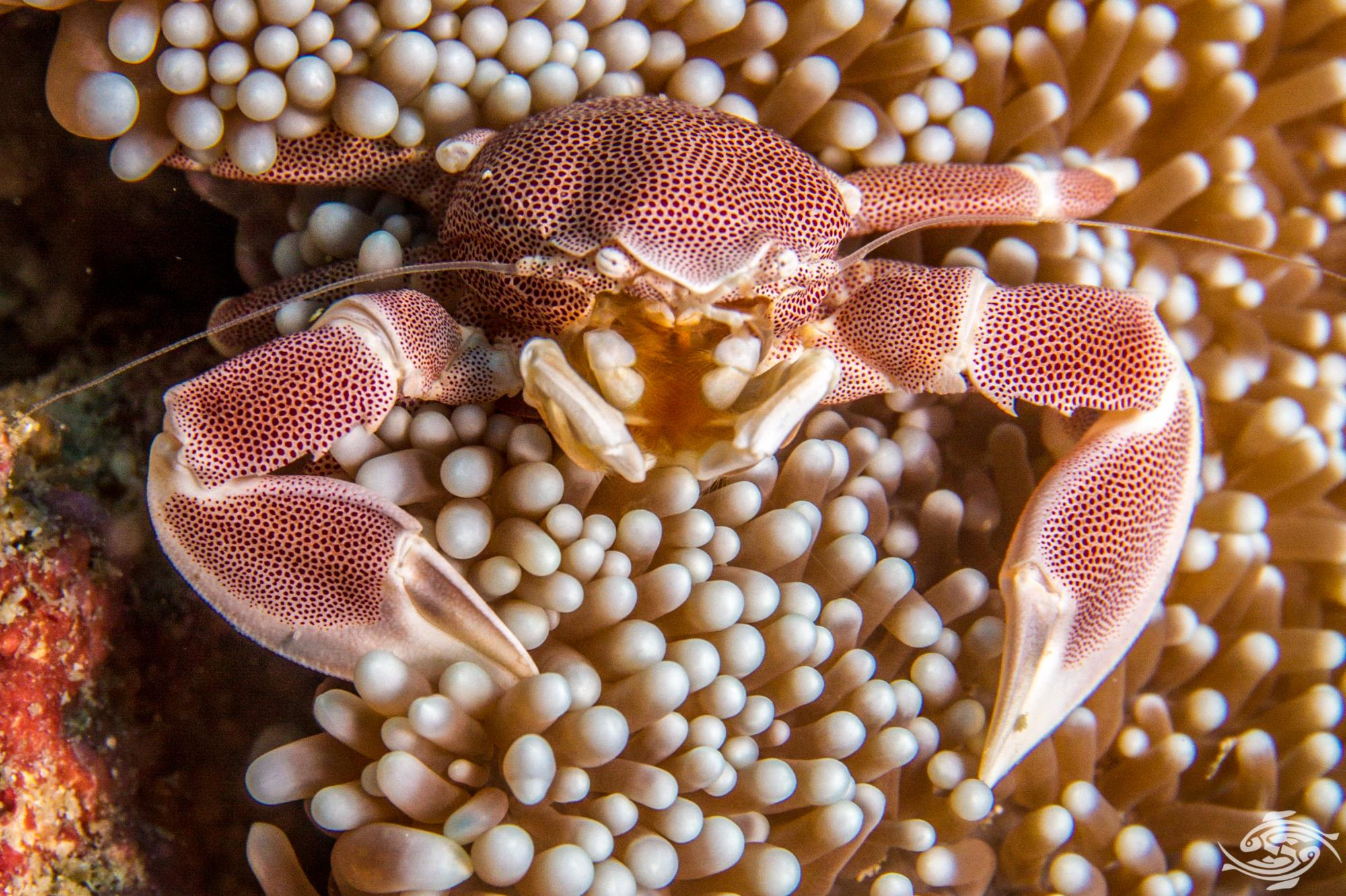 Porcelain Anemone Crab, Neopetrolisthes maculatus is also known