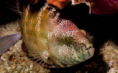 Tripletail Wrasse, Cheilinus trilobatus is also known as Maori Wrasse, Trilobed Maori Wrasse, Tripletail Maori, Triple-tail Maori-wrasse and Trippletail Maori Wrasse.