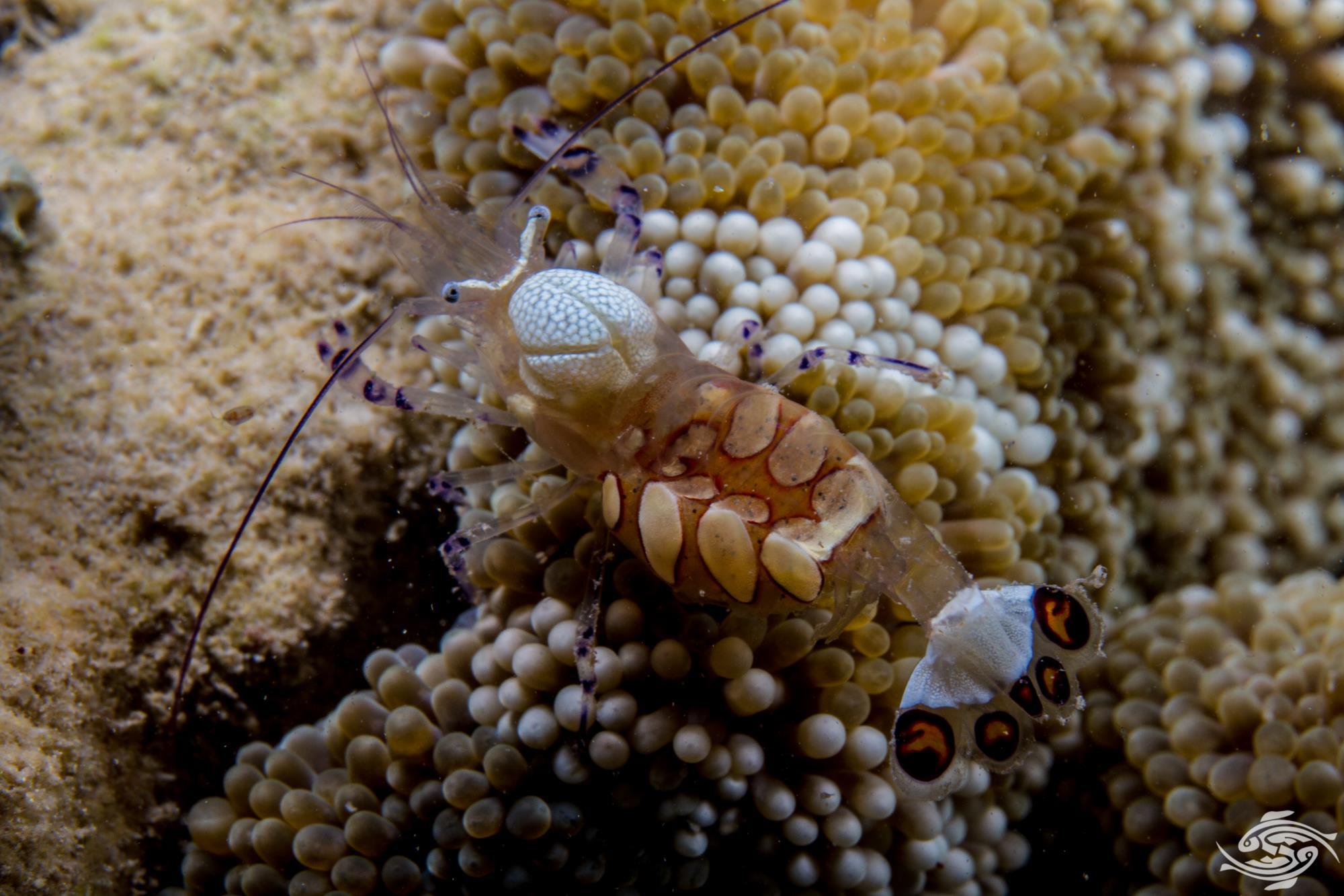 Pacific Clown Anemone Shrimp (Periclimenes brevicarpalis)