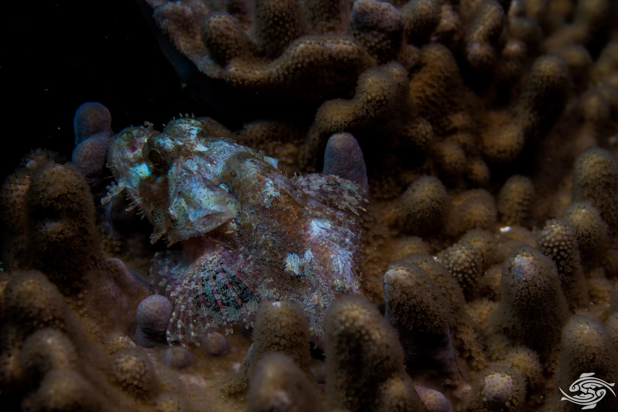 he Raggy Scorpionfish (Scorpaenopsis venosa) is also known as the Yellow-nose Scorpionfish