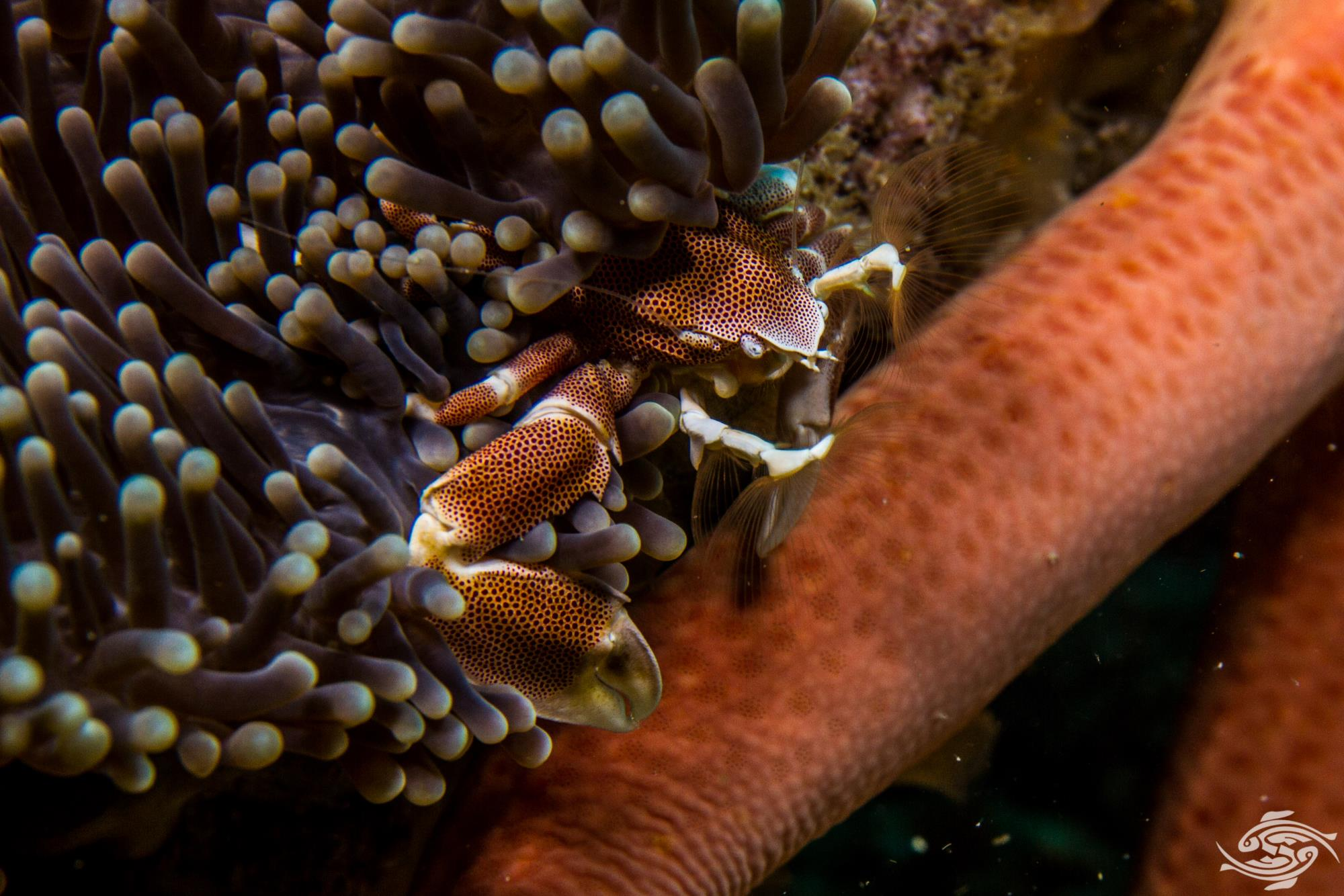 Porcelain Anemone Crab, Neopetrolisthes maculatus is also known as the Spotted porcelain crab