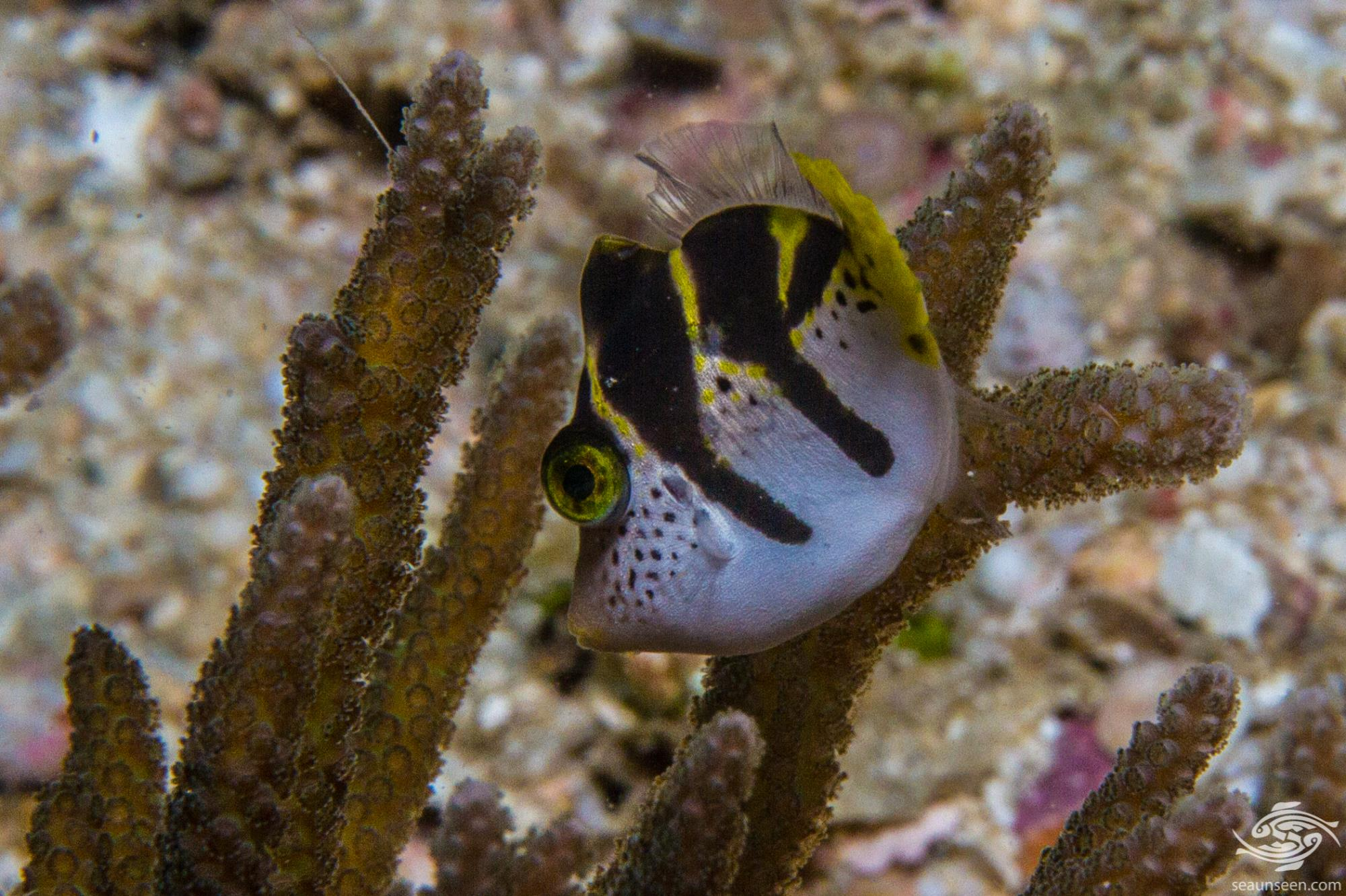 Blacksaddle filefish, Paraluteres prionurus