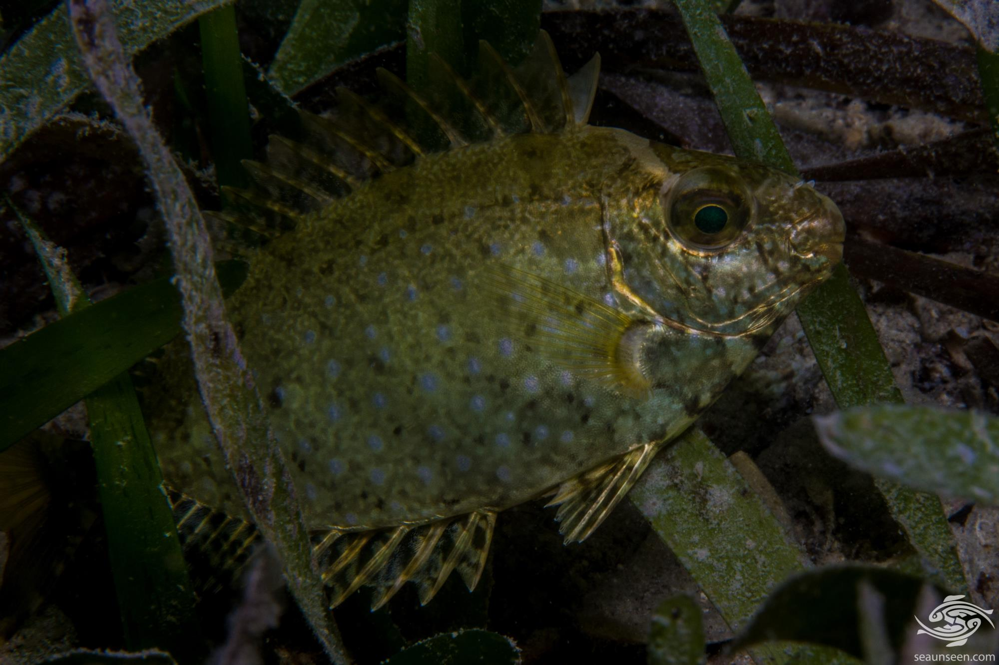 Whitespotted rabbitfish Siganus sutor is also known as the Shoemaker spinefoot