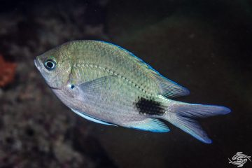 False-eye Damsel Abudefduf sparoides, also known as the False-eye Sergeant
