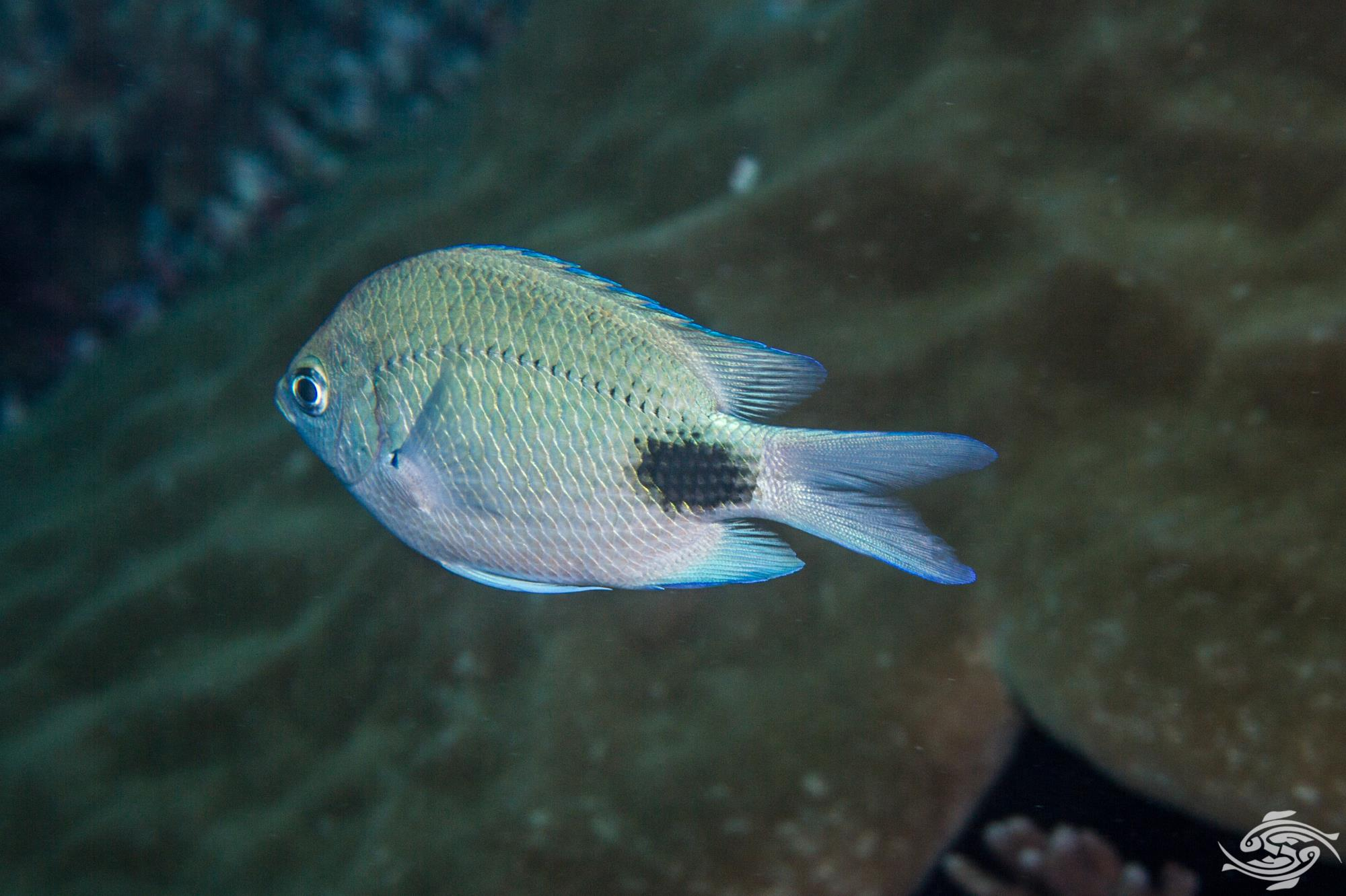 False-eye Damselfish Abudefduf sparoides, also known as the False-eye Sergeant