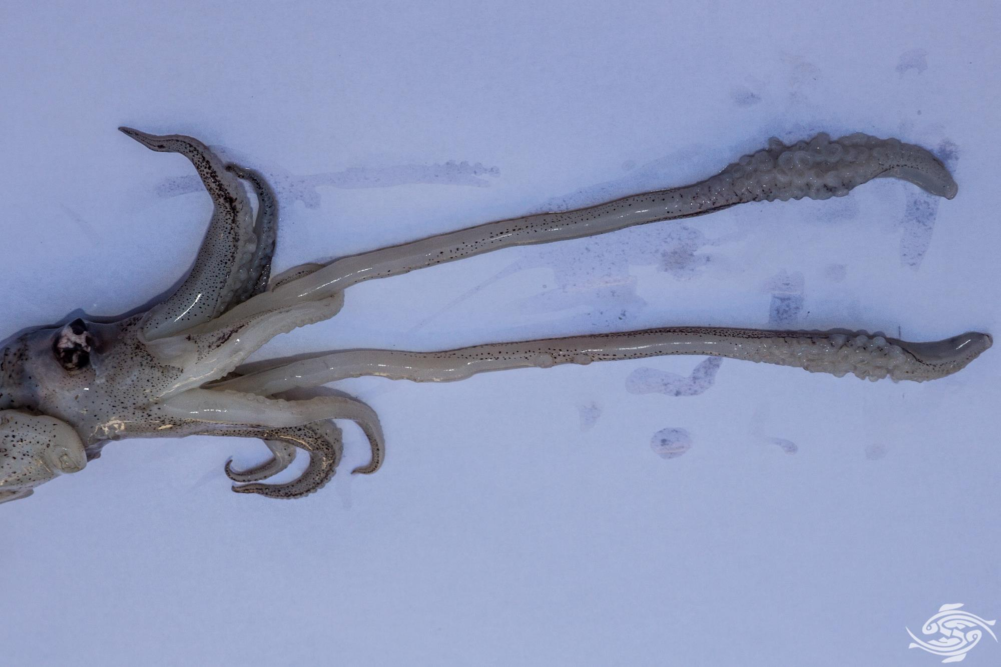 The tentacles used to capture prey can be clearly seen in this image. Note the large numbers of suckers on the end of the tentacle.