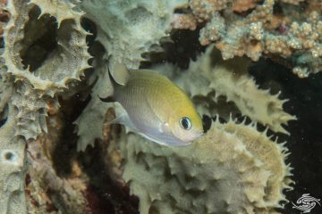 Ternate chromis Chromis ternatensis also known as the Golden chromis and the Swallowtail Puller
