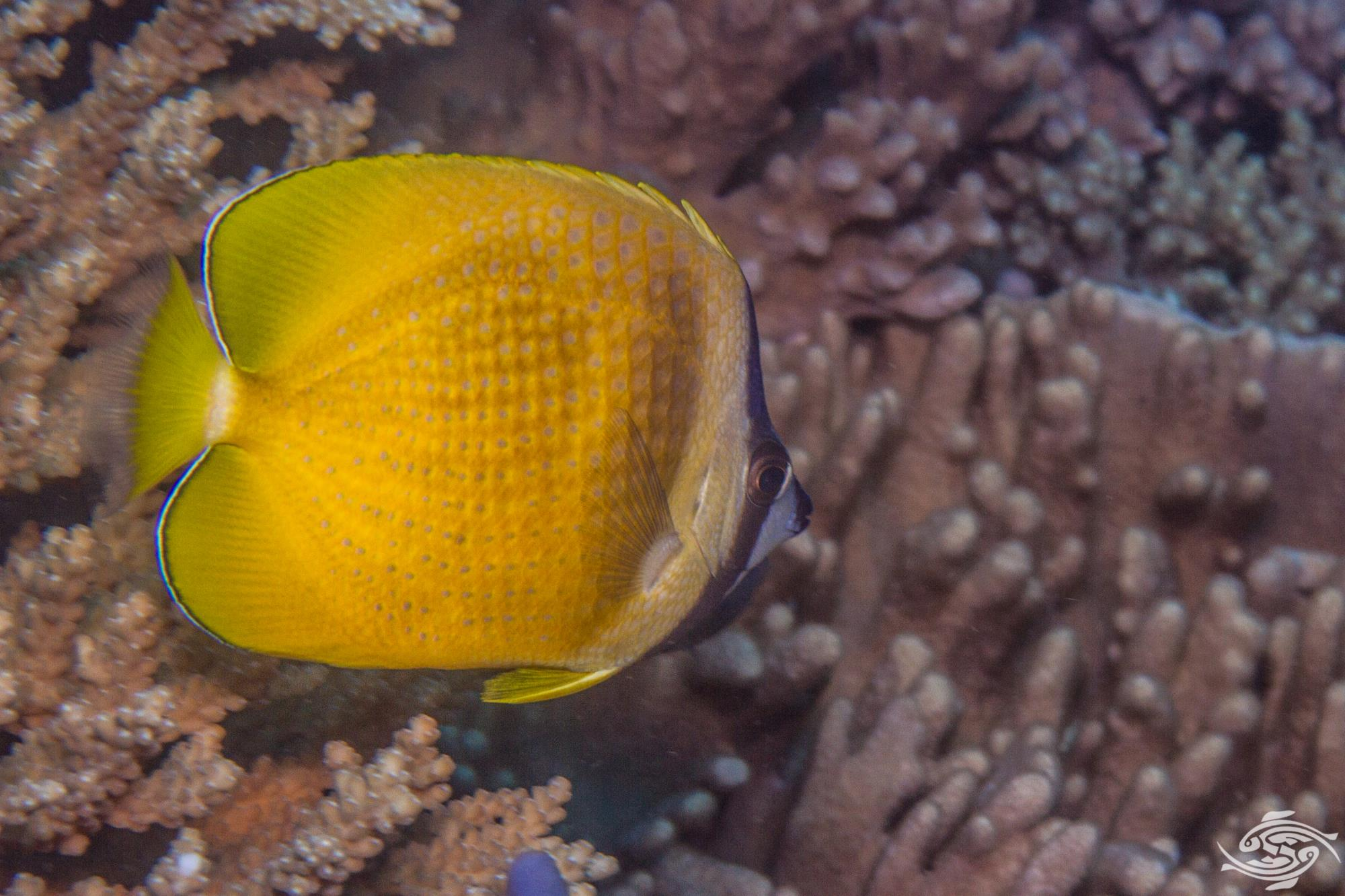 Sunburst Butterflyfish, Chaetodon kleinii is also known as the Black-lipped Butterflyfish, White Spotted Butterflyfish, Orange Butterflyfish and Klein's Butterflyfish