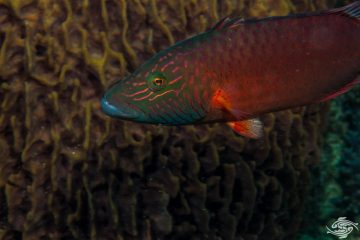 Cheek-lined Maori wrasse Oxycheilinus digramma also known as the , Cheeklined Maori wrasse, Cheeklined wrasse and Bandcheek wrasse