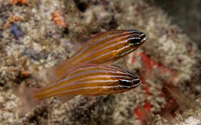 Yellowstriped cardinalfish Ostorhinchus cyanosoma