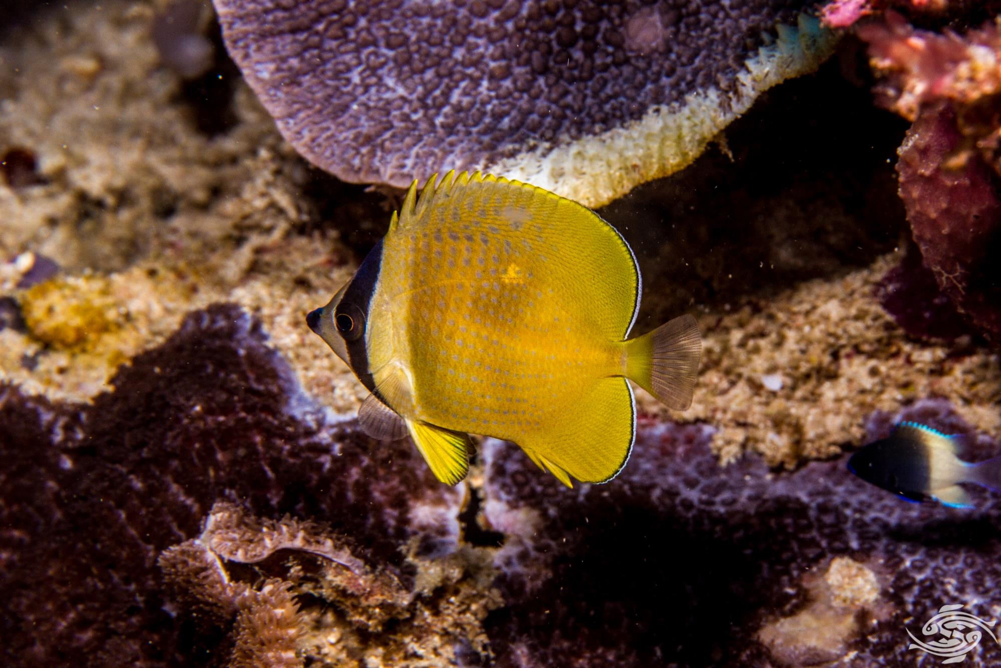 "Sunburst Butterflyfish, Chaetodon kleinii, also known as the Black-lipped Butterflyfish (or ""blacklip butterflyfish"") Orange butterflyfish or Klein's Butterflyfish"