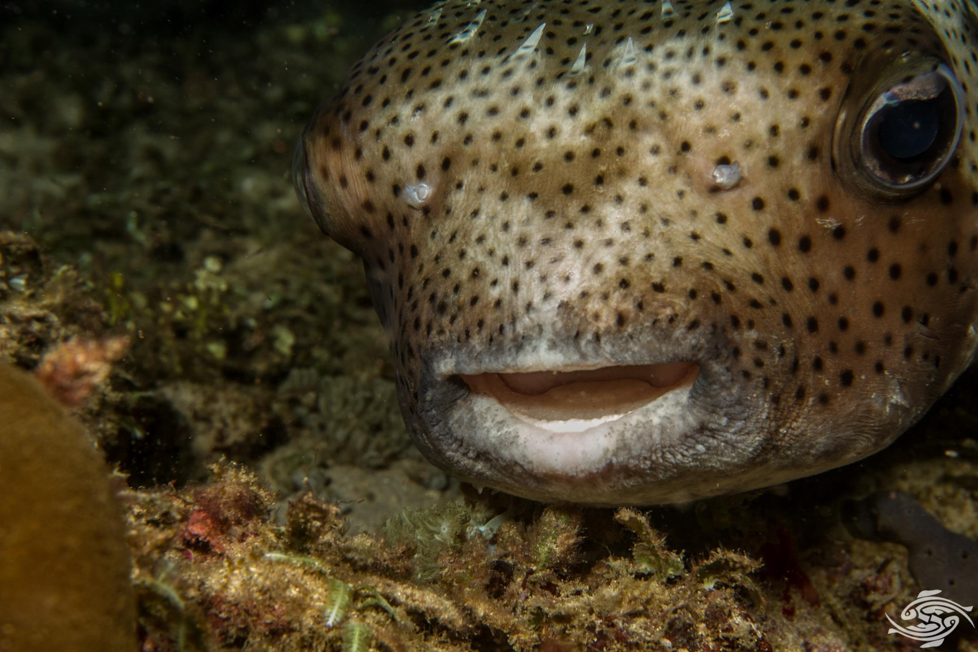 spot-fin porcupinefish (Diodon hystrix), also known as spotted porcupinefish, black-spotted porcupinefish or simply porcupinefish