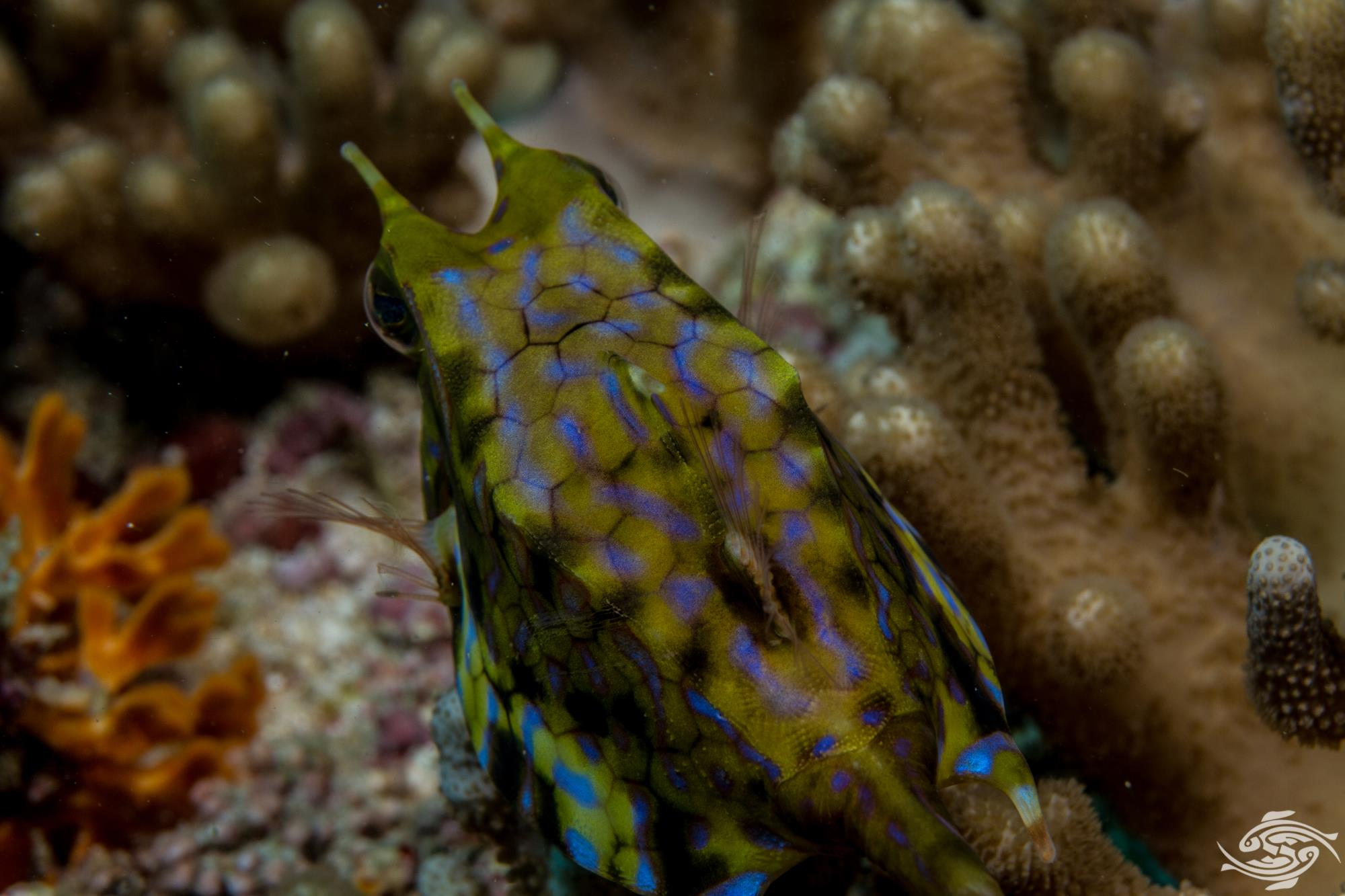 Thornback cowfish,Lactioria fornasini is also known as the Spiny-backed Cow-fish, Thornspine Cowfish and the Thorny-back Cowfish