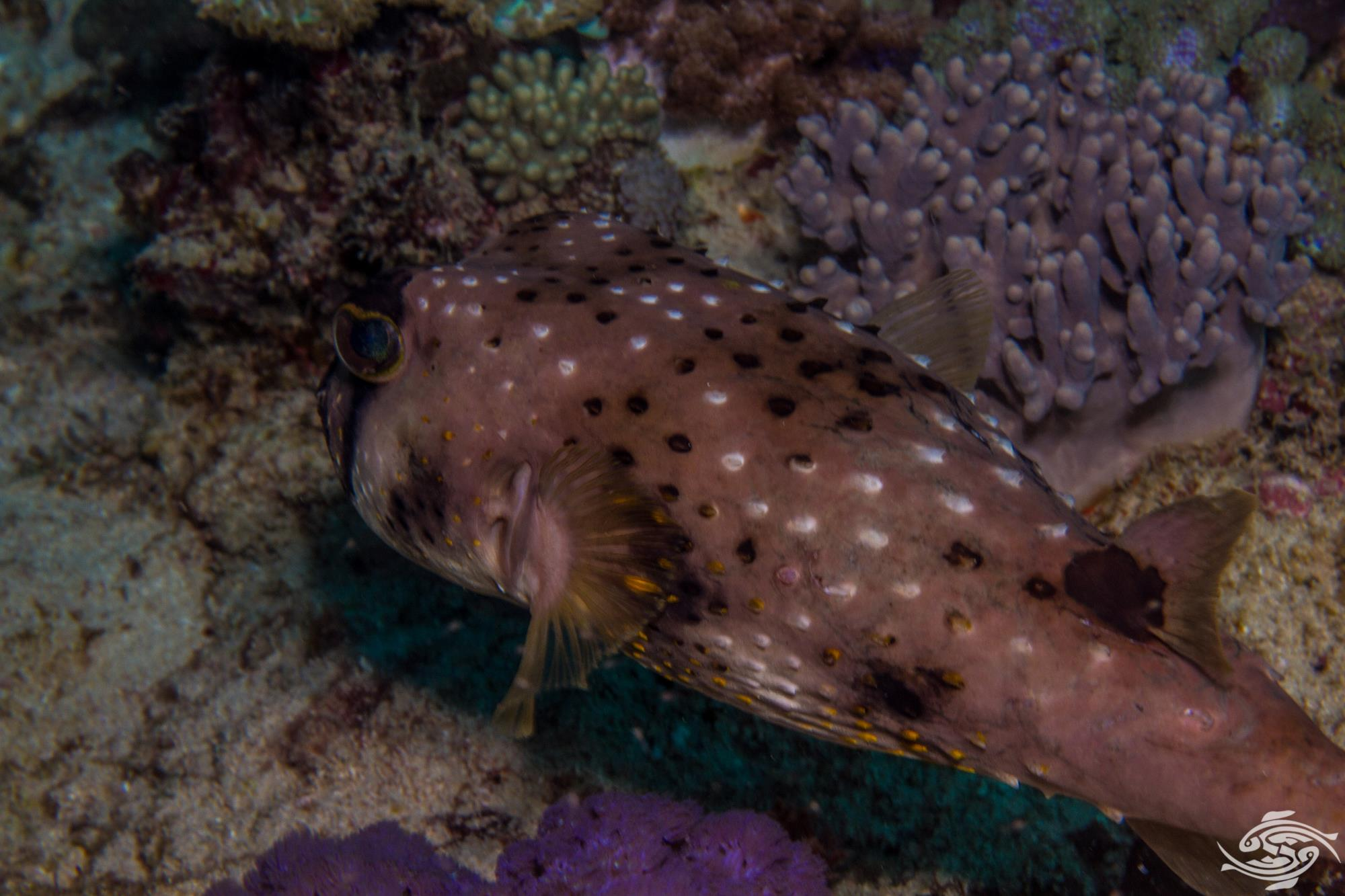 Blacklip Porcupinefish (Lophodiodon calori) Also known as Burrfish and Four-bar Porcupinefish