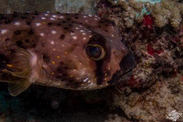 Black-lip Porcupinefish (Lophodiodon calori) Also known as Burrfish and Four-bar Porcupinefish