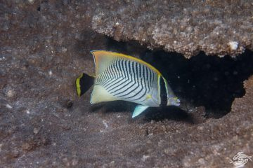 Chevron Butterflyfish (Chaetodon trifascialis), also known as Triangulate Butterflyfish or V-lined Butterflyfish