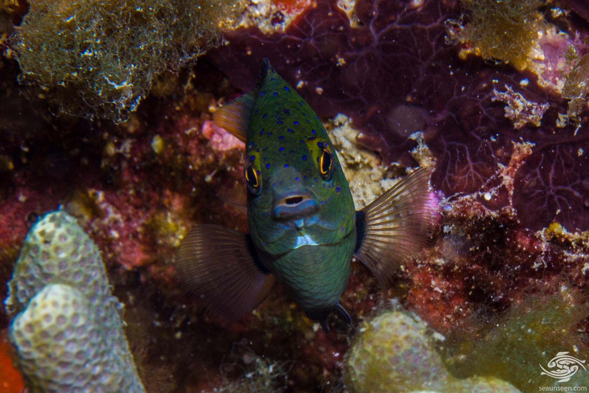 Jewel damselfish Plectroglyphidodon lacrymatus is also known as the Whitespeckled Demoiselle and the Whitespotted devil