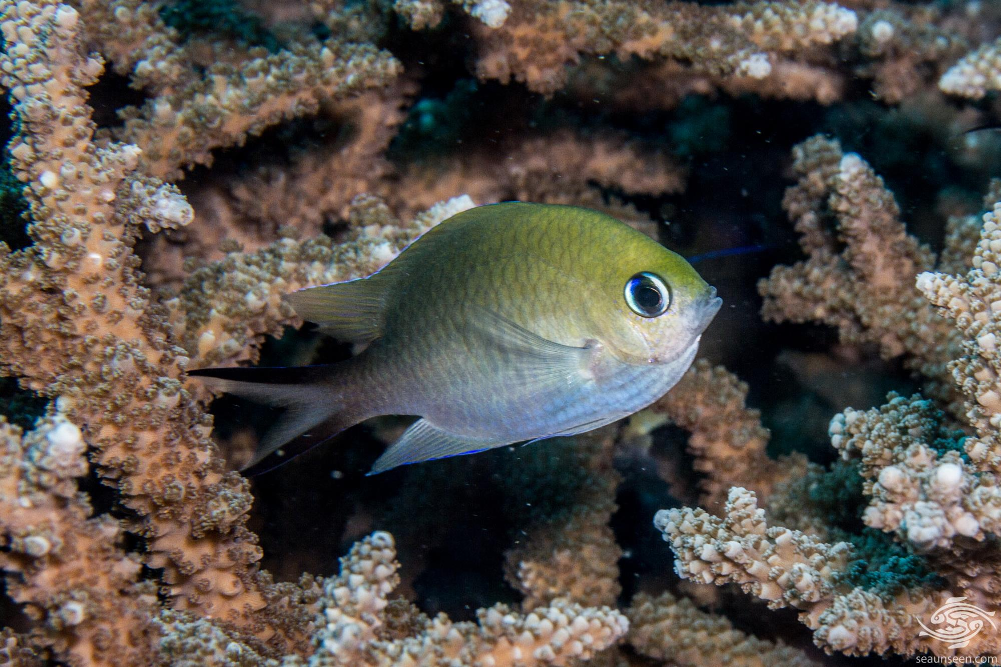 Ternate chromis Chromis ternatensis is also known as the Golden chromis and the Swallowtail Puller