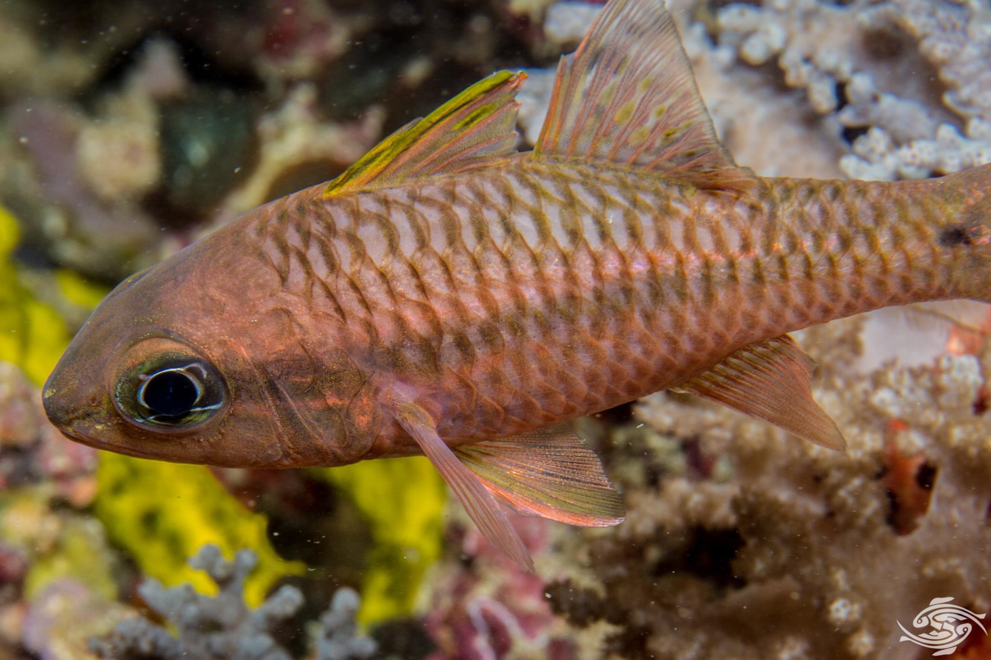 Iridescent Cardinalfish Pristiapogon kallopterus also known as the Spinyhead Cardinalfish or Kallopterus Cardinalfish