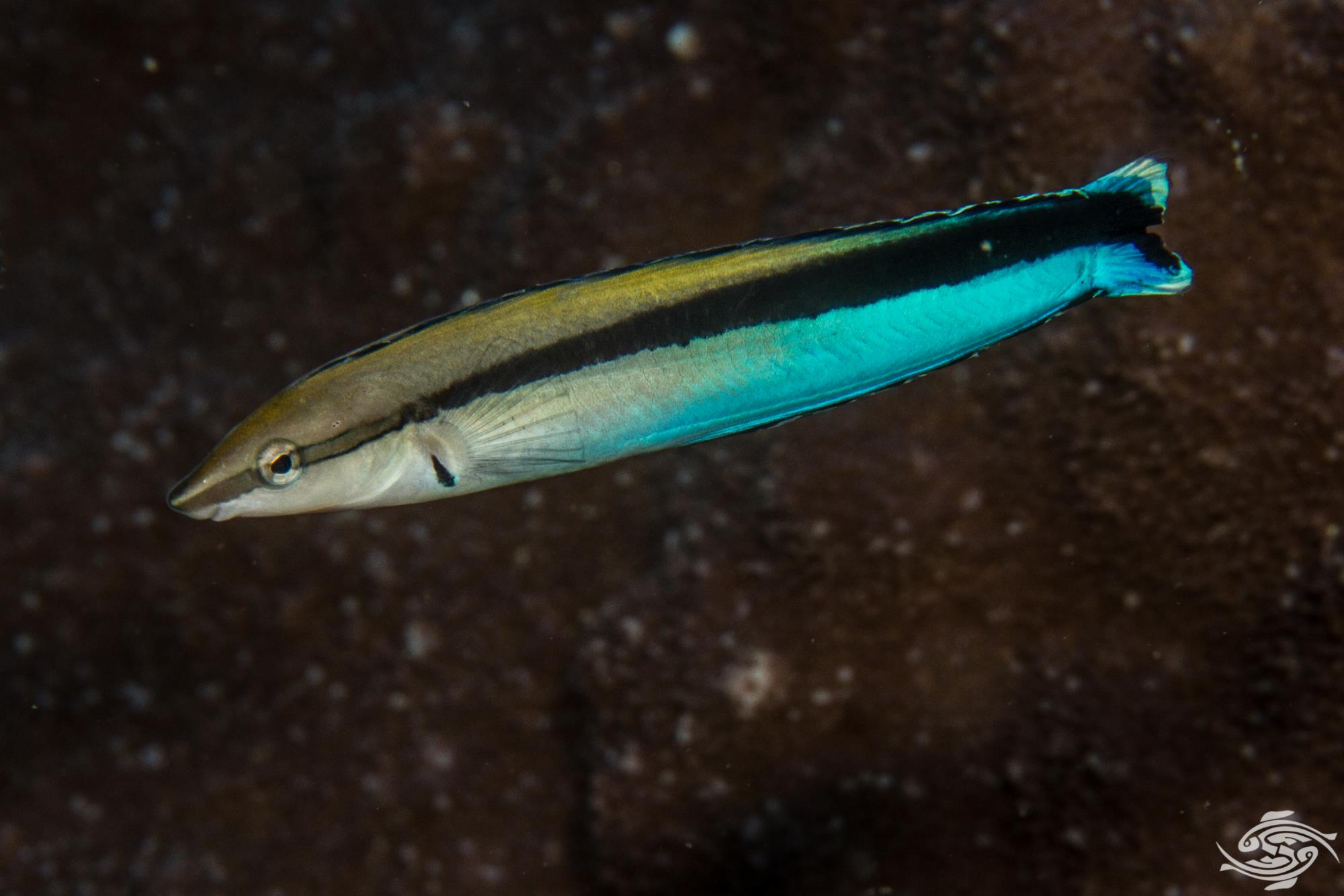 Cleaner Wrasse (Labroides dimidiatus) mimicked by a False cleanerfish (Aspidontus taeniatus)