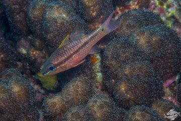 Iridescent Cardinalfish Pristiapogon kallopterus also known as the Spinyhead Cardinalfish or Kallopterus Cardinalfish