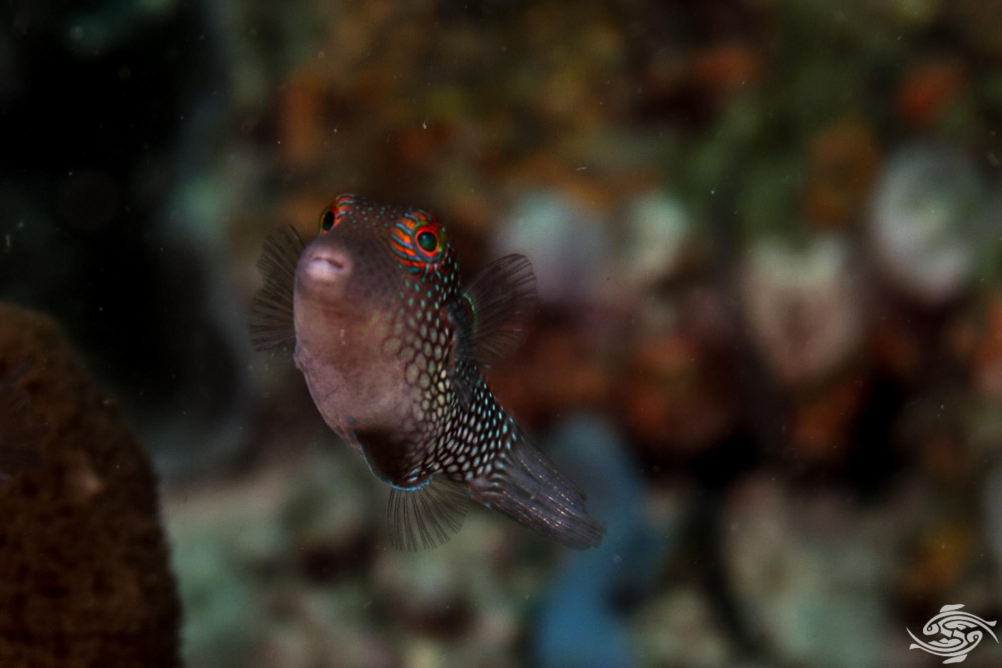 Honeycomb Toby (Canthigaster janthinoptera) also known as Spotted Puffer, Spotted Pufferfish, Spotted Toby, White-spotted Pufferfish