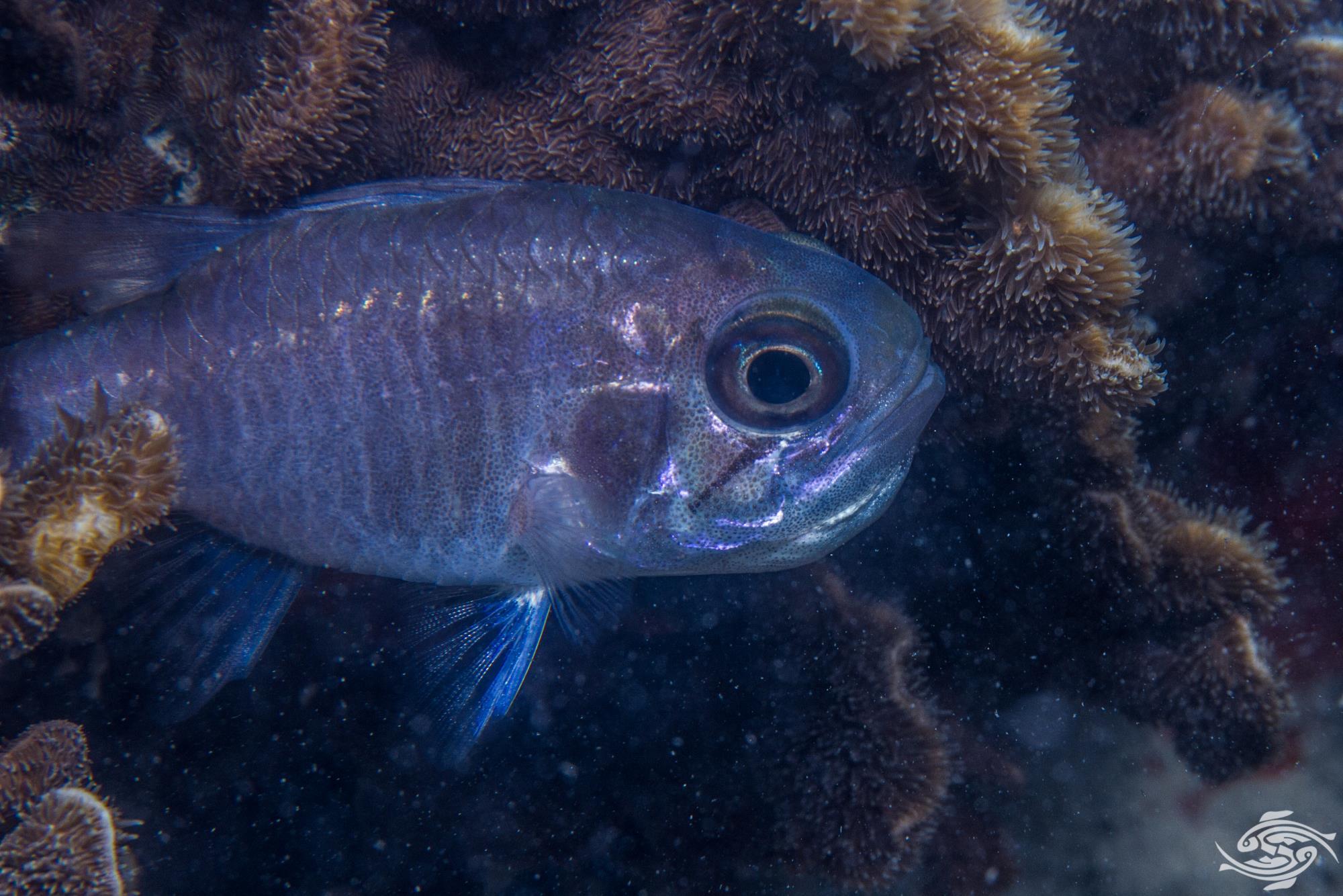 Ghost Cardinalfish Nectamia fusca