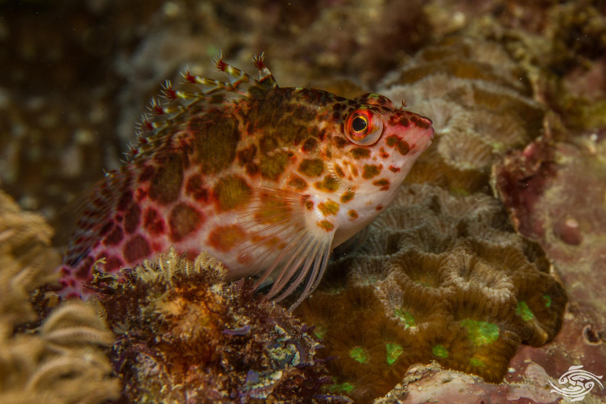 Spotted Hawkfish Cirrhitichthys oxycephalus, is also known as the Pixy Hawkfish