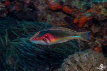 Exquisite Fairy Wrasse (Cirrhilabrus exquisitus)