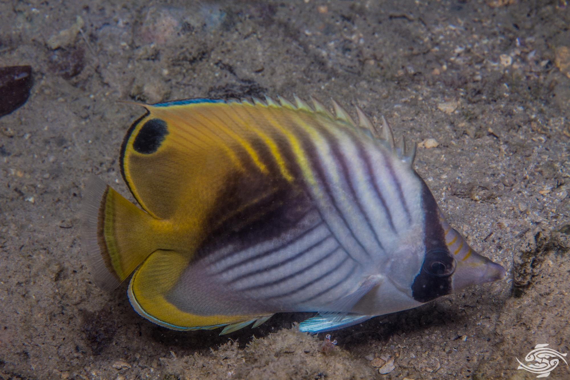 threadfin butterflyfish, Chaetadon auriga is also known as the auriga butterflyfish,threadfin coralfish, cross-stripe butterfly and whip butterflyfish