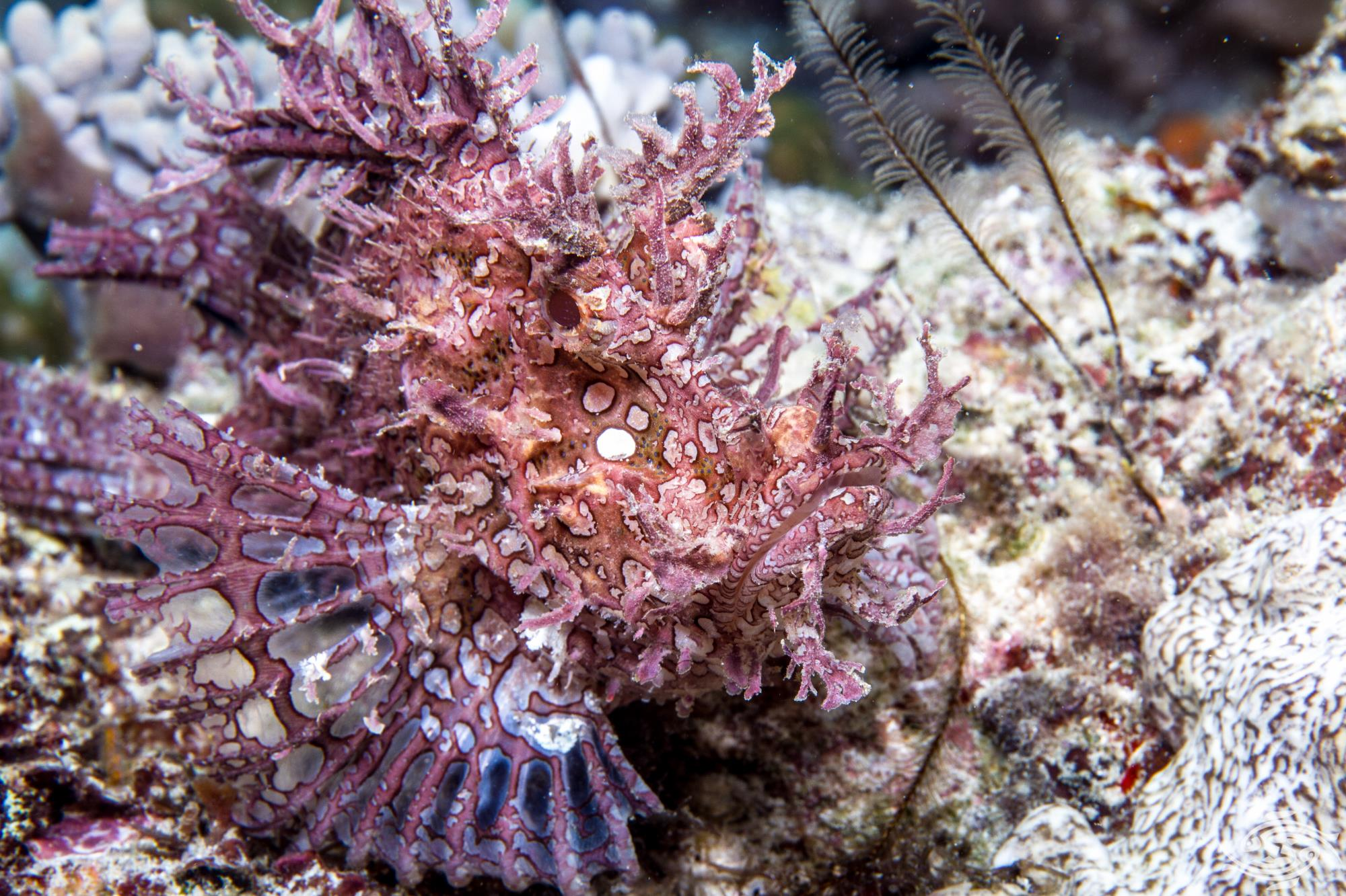 Weedy scorpionfish Rhinopias frondosa is also known as the Lacy Scorpionfish
