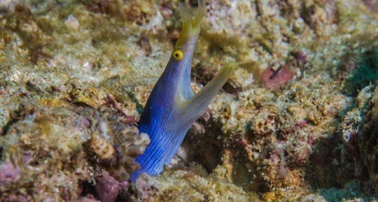 ribbon eel (Rhinomuraena quaesita) is also known as the leaf-nosed moray eel.