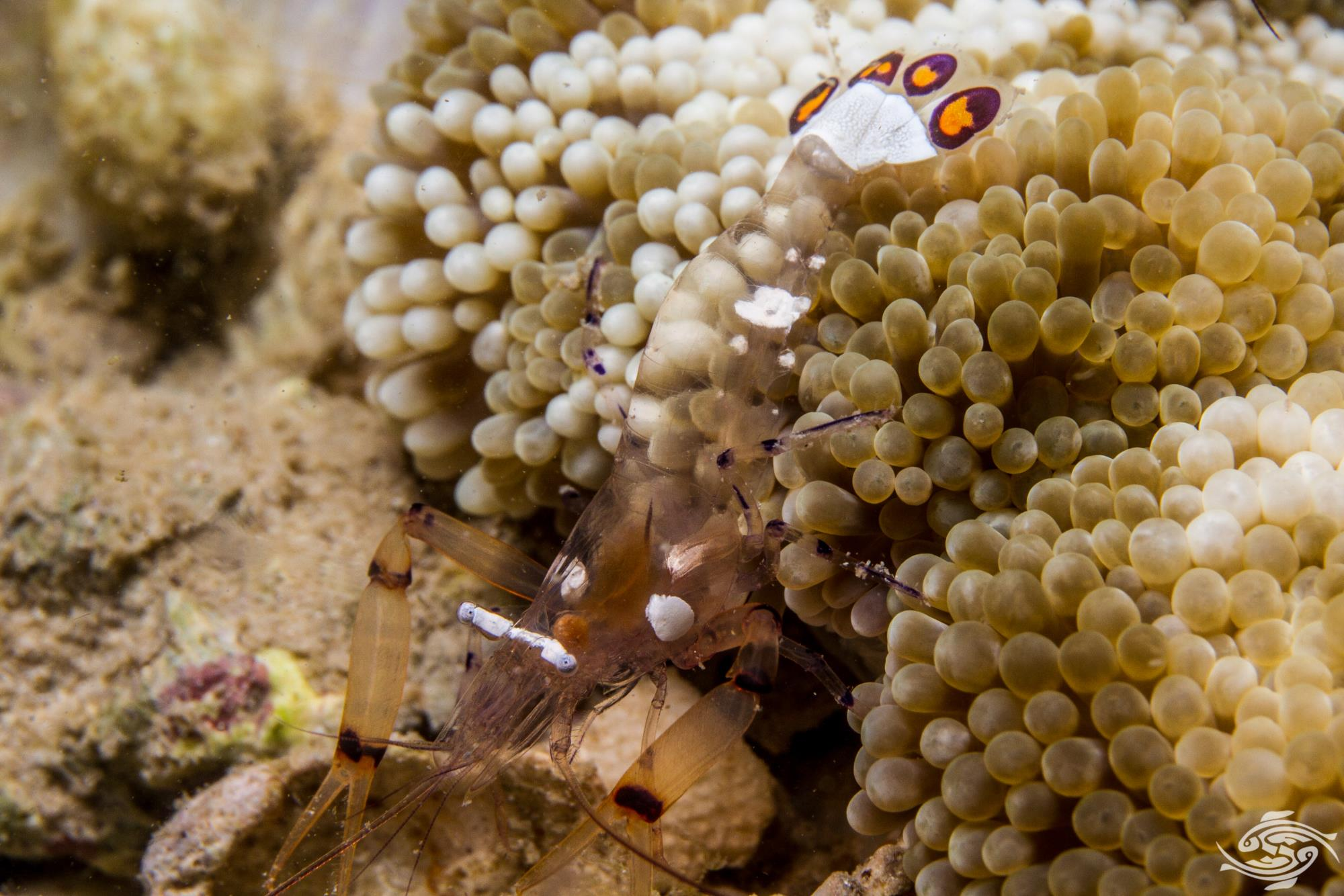 Periclimenes brevicarpalis Pacific Clown Anemone Shrimp, White Spot anemone shrimp, Glass Amenone Shrimp, Peacock-Tail Anemone Shrimp