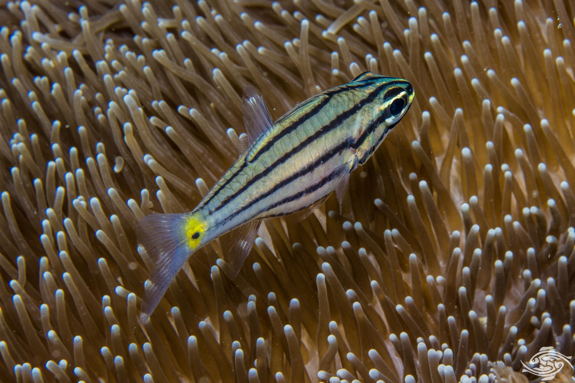 Five-lined cardinalfish, Cheilodipterus quinquelineatus