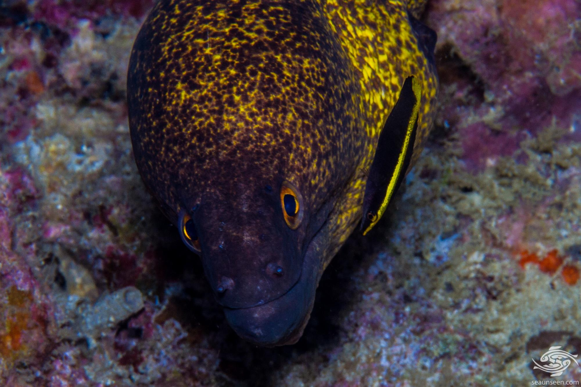 Bicolor cleaner wrasse Labroides bicolor is also known as the Two-colored Cleaner Wrasse and the Yellow Diesel Wrasse