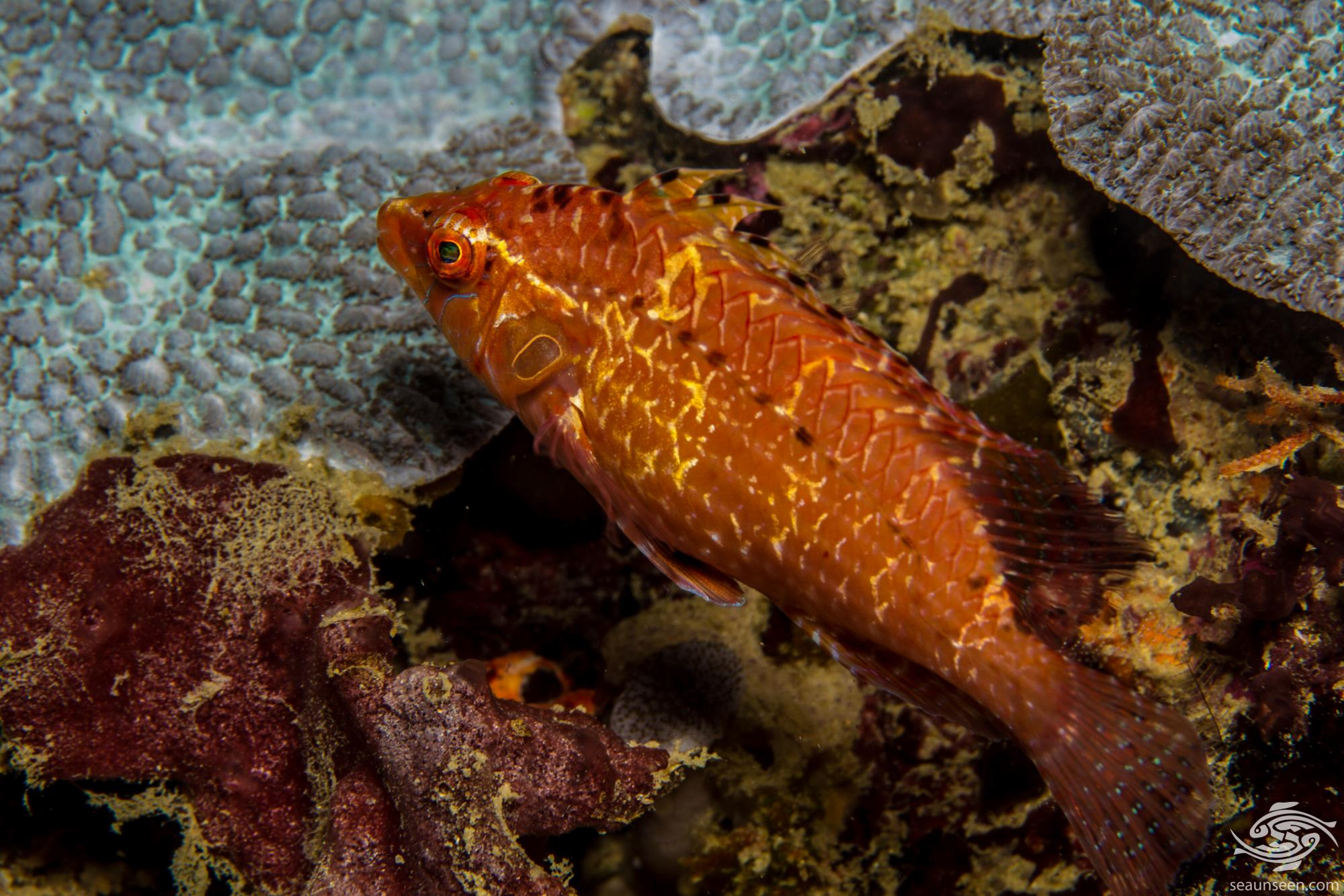 Cryptic wrasse Pteragogus cryptus is also known as the Indian Sneaky Wrasse