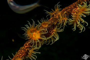 Gorgonian weapper Nemanthus species