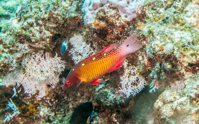 Diana's hogfish, Bodianus diana