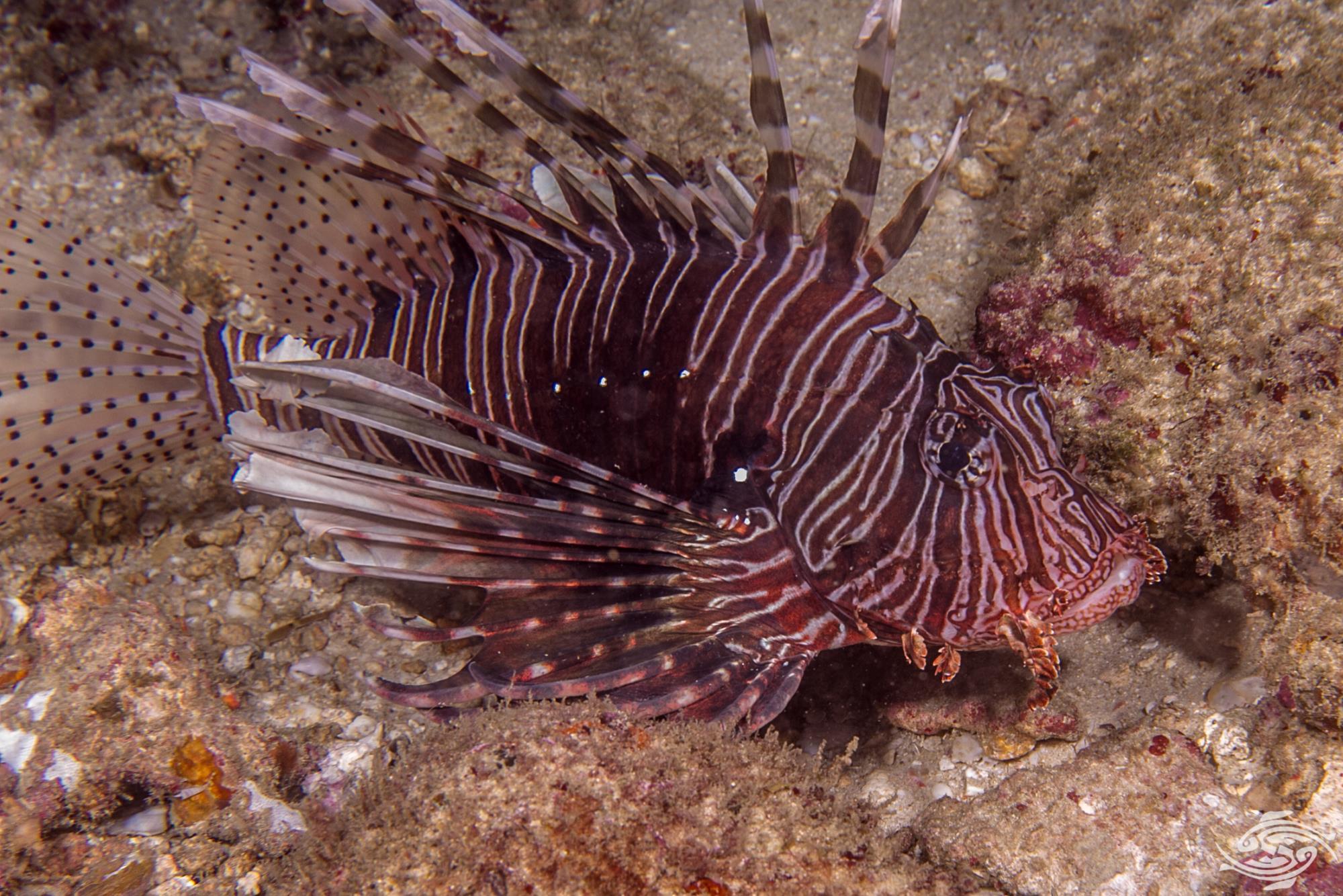 Common Lionfish, Indian Lionfish or Devil Firefish (Pterois miles)