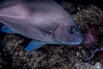 Sailfin rubberlip (Diagramma centurio) also known as the Sailfin Sweetlips
