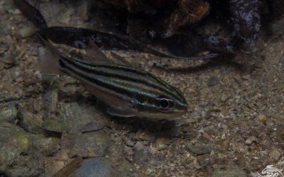 Cook's cardinalfish (Ostorhinchus cookii) also known as the blackbanded cardinalfish and the blackbanded cardinal
