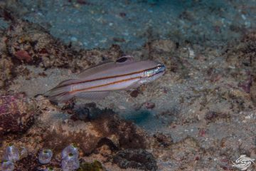 Railway Glider Goby Valenciennea helsdingenii also commonly known as the twostripe goby, black-lined sleeper goby, or railway sleeper goby