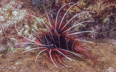 clearfin lionfish, tailbar lionfish, radiata lionfish, fireworks fish, or radial firefish (Pterois radiata)
