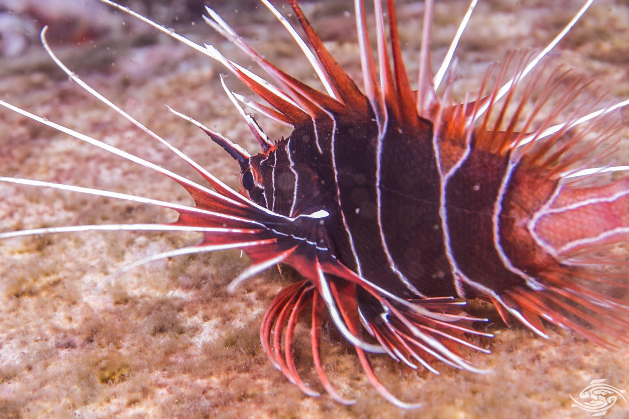 clearfin lionfish, tailbar lionfish, radiata lionfish, fireworks fish, or radial firefish (Pterois radiata)