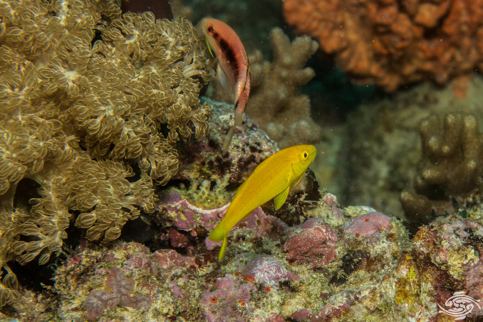 goldsaddle goatfish (Parupeneus cyclostomus)or yellowsaddle goatfish