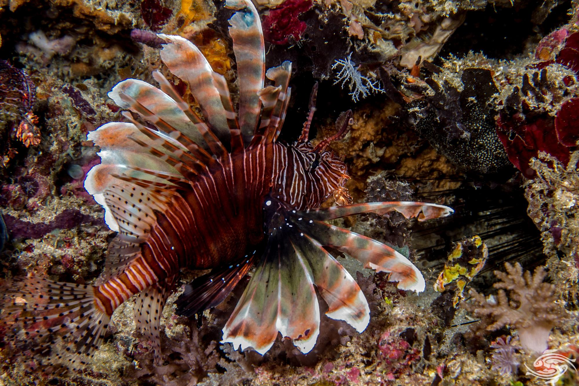 he Common Lionfish, Indian Lionfish or Devil Firefish (Pterois miles)