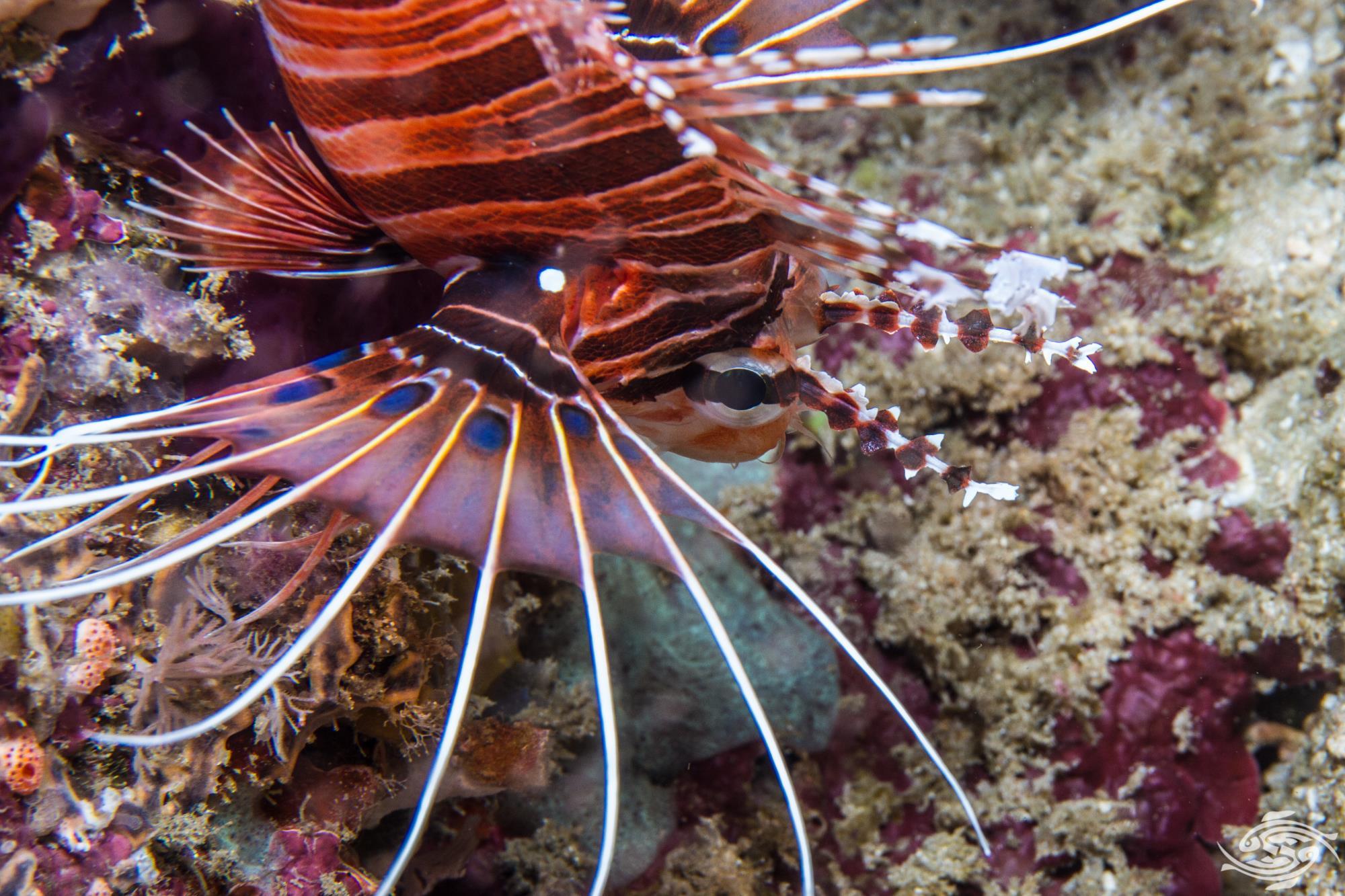 Pterois antennata 5